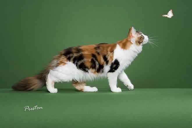 fluffy calico cat - photo #35